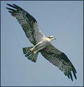 A white hawk flying overhead.
