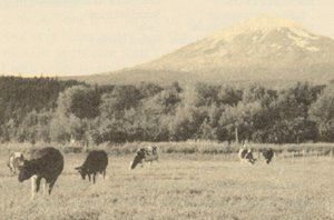 Cattle graze in a field with a mountain peak in the distance.