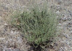 Bitterbrush is a highly flammable shrub and is often found growing under trees.