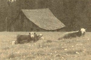 Cows grazing in a field in front of an old barn.